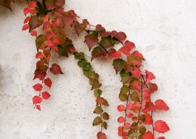 Fall Leaves on a Wall in France