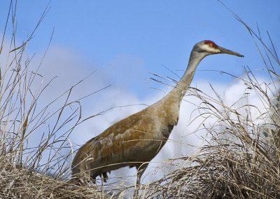 Sandhill Crane Near Pond