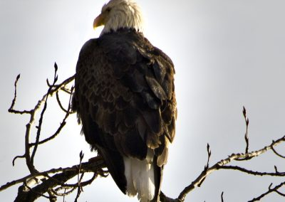 Bald Eagle at Coeur d' Alene Lake