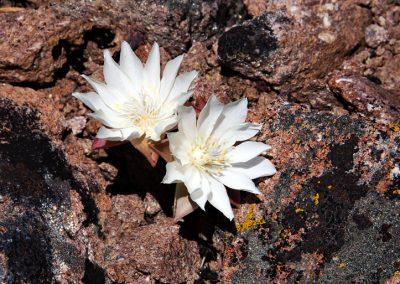 Bitterroot Blossoms on Dolar Mountain