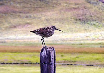 Sandpiper at Camus Prairie