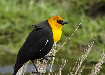 Yellow-headed Blackbird At Camus Prairie
